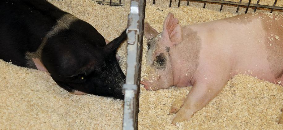 Canadian County Fair_pigs snuggle